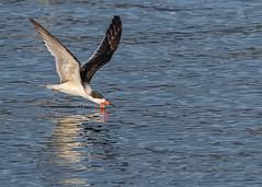 Black Skimmer (beachwalker2008) Tags: bif birdinflight blackskimmer water i500 interestingness383