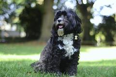 Polly.. (KissThePixel) Tags: dog dogs portrait pet animal animals pets family depthoffield bokeh realbokeh softbokeh nikkor 50mm nikon love happy fun dogphotography