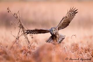 Great Grey Owl - IMG_0903