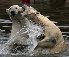polarbear Ouwehands BB2A3346 (j.a.kok) Tags: polarbear beer bear polarbaer ijsbeer arctic predator mammal zoogdier ursusmaritimus pool noordpool ouwehands ouwehandsdierenpark ouwehand ouwehandszoo
