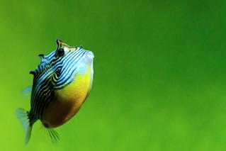 Ornate Cowfish (female) of Tokyo Sea Life Park : オルネートカウフィッシュ(葛西臨海水族園)