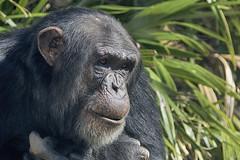 Pan troglodyte (ucumari photography) Tags: ucumariphotography chimpanzee chimp primate pantroglodyte animal mammal nc zoo february 2017 dsc6008 north carolina specanimal