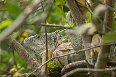 Zihua Iguana (Sýnthes!s Fotografía) Tags: photosynthesis zihuatanejo ixtapa iguanas guerrero mexico nature fauna naturaleza playalinda zanca picofday travel turismo