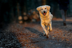Evening Walk (clé manuel) Tags: sunset nature dog sunlight golden retriever carl zeiss jena 200mm f28 analogue analog animal natur hund walk evening abendspaziergang sony alpha a6000 6000 m42