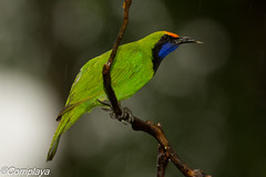 Verdín Frentidorado Golden-fronted Leafbird (Chloropsis aurifrons) (Corriplaya) Tags: corriplaya birds aves tailandia verdínfrentidorado goldenfrontedleafbird chloropsisaurifrons