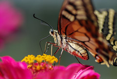 Farfalla (Mattia Pianca) Tags: flowers summer flower macro nature butterfly nikon estate natura 11 corona 28 fiori makro tamron 90mm fiore petali 90 farfalla insetti tamron90mm 2015 d80