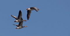 Geese (kunstschieter) Tags: sky birds geese vogels ganzen explore lucht