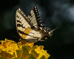 Eastern Tiger Swallowtail in the gardens at Harkness Memorial (hickamorehackamore) Tags: statepark summer butterfly connecticut ct zinnia swallowtail easterntigerswallowtail 2015 niantic harknessmemorial