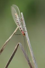 Ko Samui Chrysopidae (Phil Arachno) Tags: thailand kohsamui kosamui arthropoda tha neuroptera insecta hexapoda chrysopidae