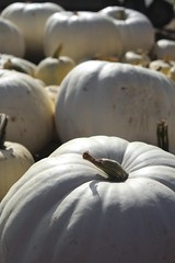 I'm Dreamin' of a White Pumpkin (Read2me) Tags: she autumn white fruit dof many pumpkins vegetable ge cye thechallengefactory pregamewinner