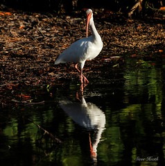 White Ibis at sunset (rsheath76) Tags: reflection birds island florida birding ibis sanibel