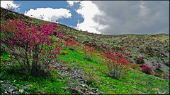 Valley of Cercis HDR (Poria) Tags: flower nature landscape iran outdoor persia valley ایران mashhad khorasan cerci مشهد cercis torghabeh دره طرقبه ارغوان