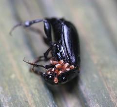 Nature does Halloween all year round ! (Kez West) Tags: beetle yuck arachnids mites arachtober
