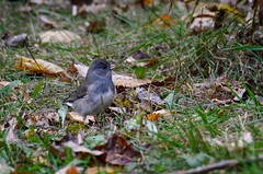 Junco (the real Kam75) Tags: autumn food ontario bird fall grass leaves bush junco seed slate twigs