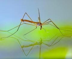 """Mosquito"" gigante (Tipula sp.) con reflejo. (eustoquio.molina) Tags: tipula insect zaragoza montecanal nature naturaleza reflection reflejo macrofotografía macrophotography"