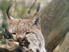 Auf der Lauer... (libra1054) Tags: animals tiere outdoor felinos felini animales animali eurasianlynx eurasischerluchs lynxdeurasie linceeuropea linceeuropeo linceeuroasiâtico fêlinês