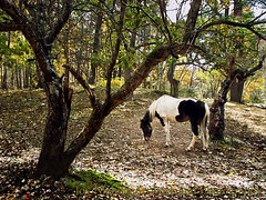 Looking For Apples (joyolsonnichols) Tags: autumn horses horse usa color tree fall nature beautiful beauty leaves animal animals rural standing landscape outdoors photography countryside paint eating farm branches country maine peaceful foliage treetrunk pasture american bark western apples serene spotted pastoral equestrian tranquil grazing equine appletree pinto painthorse franklincounty farmscene noperson pintohorse horselovers joynichols joynicholsartworkandphotography joynicholsartistwebsitescom lookingforapples
