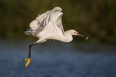 Catch And Release (gseloff) Tags: bird texas feeding wildlife pasadena snowyegret bif baitfish menhaden kayakphotography gseloff horsepenbayou