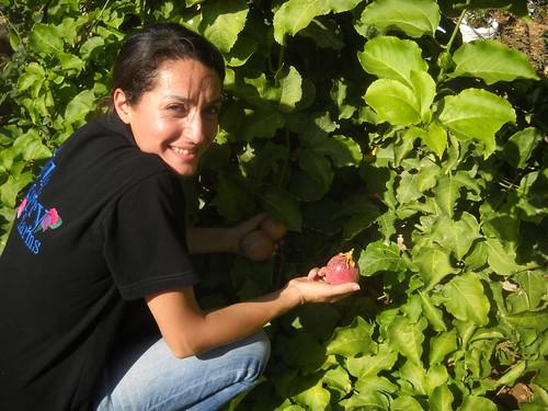 Sarah picking Passion Fruits Deirkoubel c Oct 17, 2015