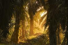 MIA_4231 (yaman ibrahim) Tags: morning mist sunrise palm palmtree rays sabah rol rayoflight oilpalm