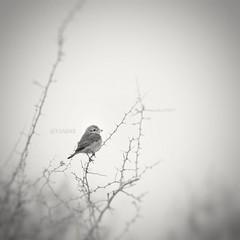 #عصفور #طير #طيور #bw #nature #petsandanimals #landscape #birds #burd #animal #photography #cute #love  #ksa  #cam #camera  #sonyalpha #soby #alpha #a57 #تصويري #كاميرا #سوني #مساء_الخير #goodeverning #blackandwhite (photography AbdullahAlSaeed) Tags: camera blackandwhite bw cute love nature birds animal landscape photography cam alpha ksa burd a57 petsandanimals تصويري طير عصفور طيور sonyalpha soby كاميرا سوني مساءالخير goodeverning