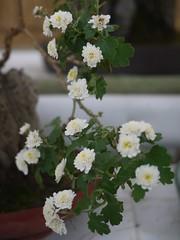 Kiku Bonsai (Chrysanthemum × morifolium) (s.itto) Tags: november autumn white bonsai chrysanthemum herbaceous asterceae