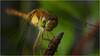 Dragonfly (Chris Lue Shing) Tags: nikkorsauto35mmf28 nikonpk13 offcameraflash macro insect bug dragonfly closeup garden nikond50 nikon d50