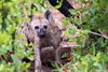 Pup with teath (Clint Mason) Tags: krugernationalpark krugerpark southafrica nature hyena hyenapup leaves plant outdoor shy