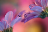 Soft pink (Marilena Fattore) Tags: macro artistic canon650d tamron 90mm colors water drops droplet nsture closeup floralart reflection bokeh pink delicate softness garden flower petals crisantemi