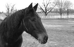 Horse, Danada Forest Preserve. 12 (EOS) (Mega-Magpie) Tags: canon eos 60d nature outdoors horse equine danada forest preserve wheaton dupage il illinois usa america black white bw mono monochrome fence