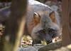 A Little Nervous (MTSOfan) Tags: grayfox lvz fox omnivore