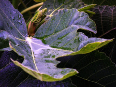 The arrival of spring (Stelios Peros) Tags: spring rain fig