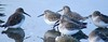 Frozen Morning 2 (Kurt Schneider) Tags: dunlin rocky point park shoreline old orchard port moody poco coquitlam bc british columbia canada pacific winter bird birding walk