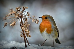 Robin - Bedfordshire (Alan Woodgate) Tags: snow