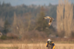 Short Ear Owl Shooting (Dex Horton Photography) Tags: sooc shortearedowl owl bird birdsofprey birdinflight shoottheshooter washingtonstate dexhorton