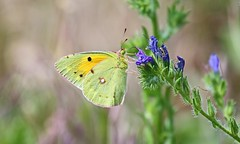 Clouded Yellow. Colias croceus (jaytee27) Tags: cloudedyellow coliascroceus bulgaria naturethroughthelens