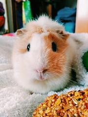 CC. (martnzh) Tags: cc cece cobaya guineapig pet adorable cute cuki cosota
