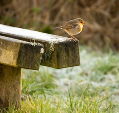 Robin on seat (Ultimate Eeyore 2) Tags: stanford break bird oxfordshire nature wildlife robin nikon d500 sigma