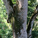 Tree Trunk (IMG_2296b)
