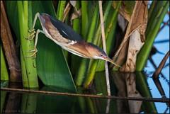 Hang in there, it's almost the weekend (Nikographer [Jon]) Tags: wildlife nature water perch hang nikographer nikon 2016 mar march birds bird wetlands wakodahatchee wakodahatcheewetlands florida leastbittern 20160322d810034501 d810 grip feet green