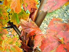 Acer griseum; Sapindaceae (2) (pflanzenflüsterer) Tags: sapindaceae aceraceae baum herbstfärbung china zimtahorn laubwerfend härlen orange rot wald