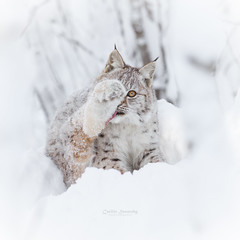 Watching (CecilieSonstebyPhotography) Tags: 7monthsold canon canon5dmarkiii eurasianlynx gaupe langedrag lynx lynxcub markiii bokeh cat catfamily cleaning cleaningtime closeup eartufs eye gaze leg licking portrait snow stare tongue whiskers whiteframe winter specanimal specanimalphotooftheday