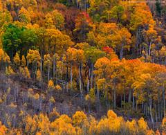 Auditorium (blakesimpson_photo) Tags: easternsierras fall autumn aspen trees