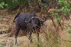 Kaffernbüffel / Cape Buffalo (brainstorm1984) Tags: big5 buffalo moremiwildreservat safari schwarzbüffel capebuffalo moremigamereserve steppenbüffel kaffernbüffel africanbuffalo afrikanischerbüffel wildlife campmoremi desertdeltasafaris botswana synceruscaffer bigfive okavangodelta xakanaxa northwestdistrict botsuana bw