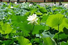 Lotus Pond (Celeste33) Tags: lotuspond lotusflower blossom white flower lotus nantientemple pond green