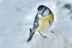 ~~ Les pieds dans la neige mais le ventre bien rempli !! ~~ (Joélisa) Tags: mésange oiseau bird snow hiver janvier2017 neige
