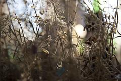 I love lavender. It is not mutual (Beathe) Tags: sando home livingroom lavender lavendel dry img9449