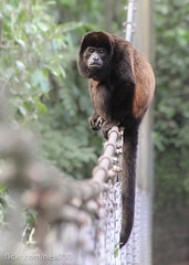 Howler monkey alpha male