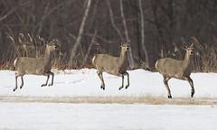 Japan (richard.mcmanus.) Tags: japan deer japanesereddeer reddeer winter snow hokkaido animals wildlife gettyimages japanesedeer