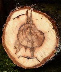 Picking bird (:Linda:) Tags: germany thuringia town hildburghausen log wood bird